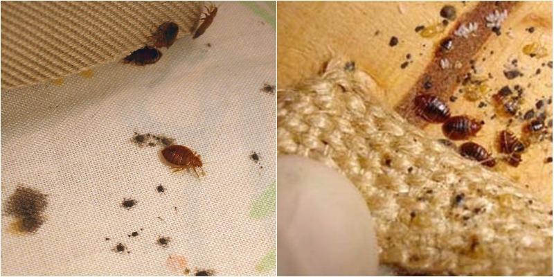 Cách ngăn chặn rệp sinh sôi trên giường