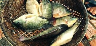Cá rô phi - nguồn gốc, dinh dưỡng và món ngon dễ làm