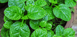 Cách chọn rau mồng tơi không nhiễm hóa chất