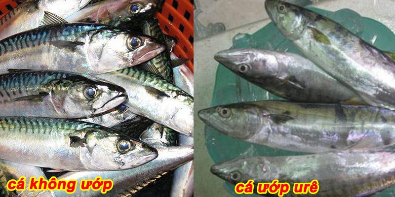 cá ướp ure và không ươp ure