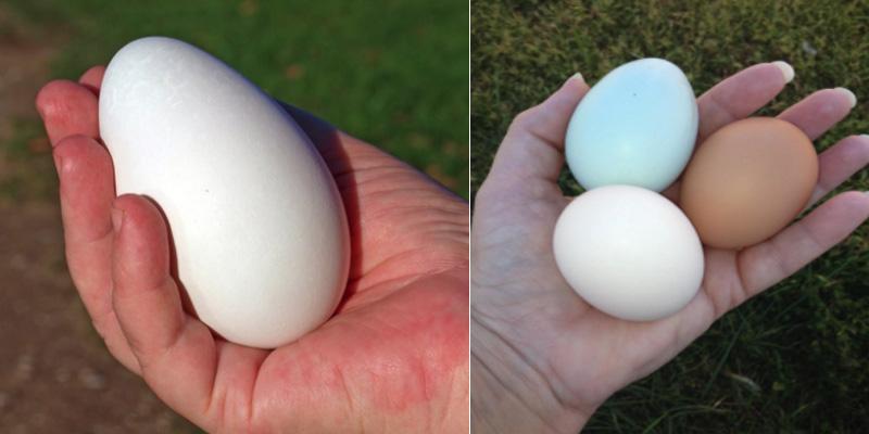 Trứng ngỗng có lượng Protein thấp hơn so với trứng gà nhưng lại có lượng Lipid cao hơn.