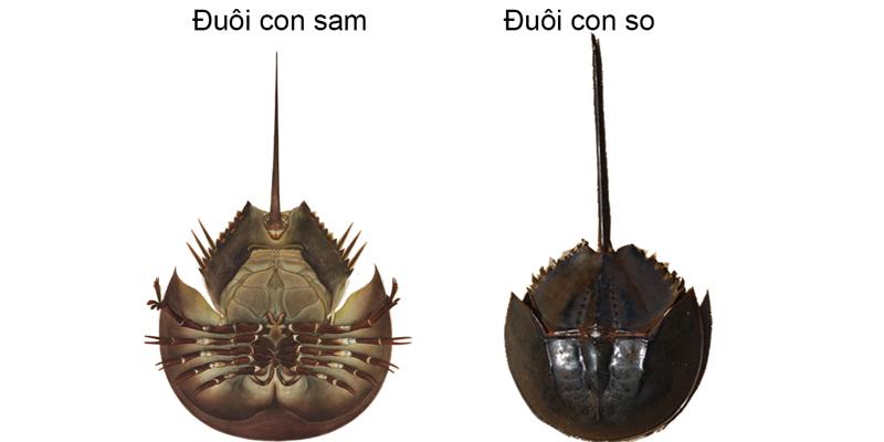 Cách phân biệt đuôi con sam và đuôi con so