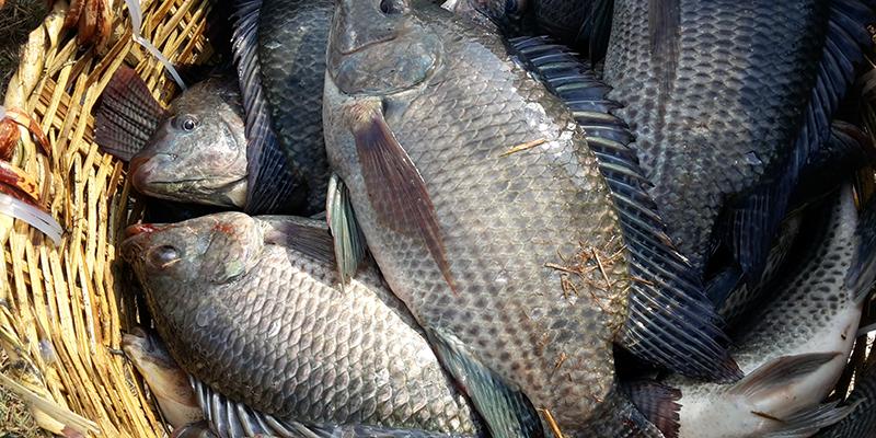 Cá kho ngon hay không sẽ phụ thuộc vào độ tươi của cá