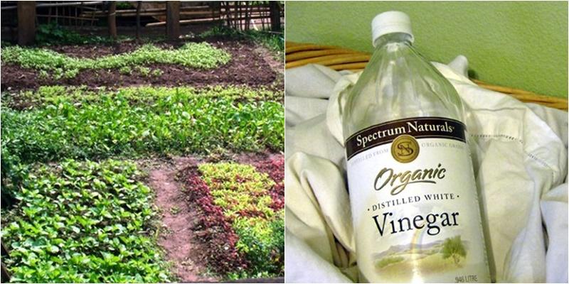 Sử dụng giấm ăn để diệt cỏ dại hiệu quả