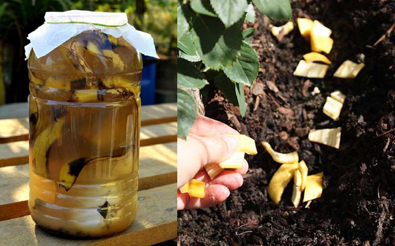 Cho vỏ chuối vào ngâm trong nước và bỏ phần vỏ vào đất trồng