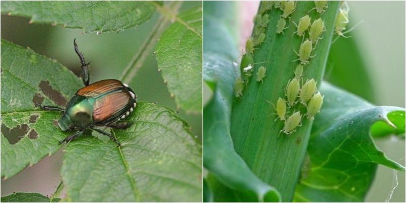 Phấn rôm giúp diệt côn trùng gây hại