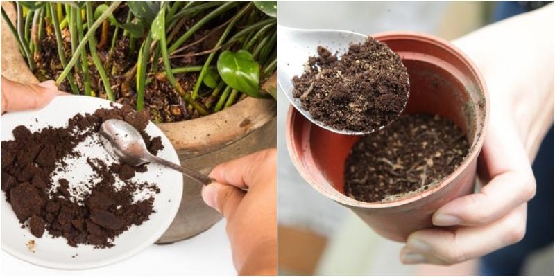 Công dụng bất ngờ của bã cà phê với cây trồng