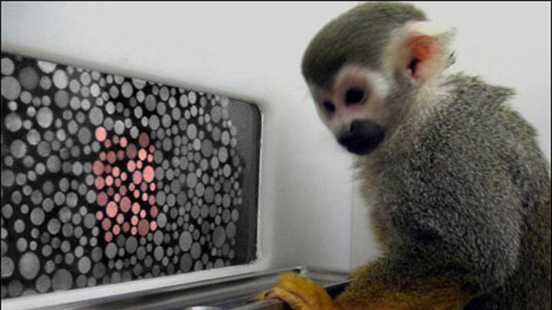 Phương pháp điều trị bằng gene đã được giáo sư Neitz dùng để tiêm gene đã giúp hai chú khỉ đực tên là Dalton và Sam nhận biết được đúng màu sắc.