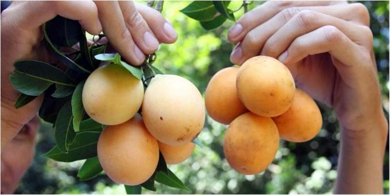Thanh trà là loại quả đặc sản mang hương vị miền tây