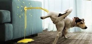 Cách khử mùi hôi khủng khiếp của nước tiểu chó, mèo trong nhà