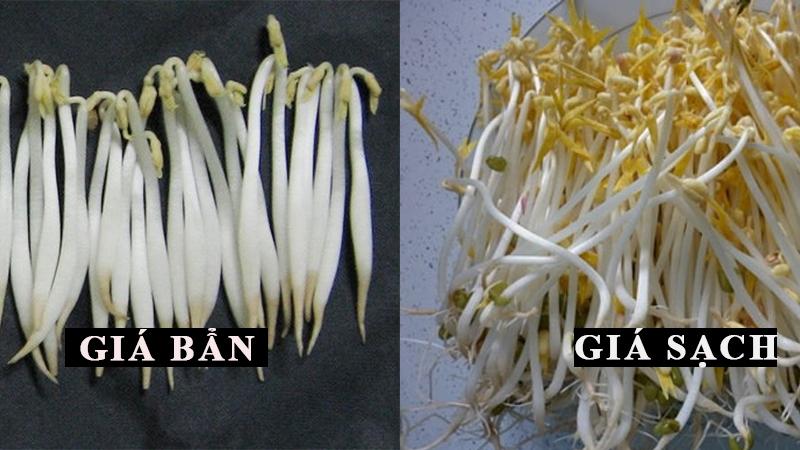 Để chọn được giá đỗ sạch, an toàn, cần chú ý không chọn loại nào quá mập, trắng ngần và không có rễ.