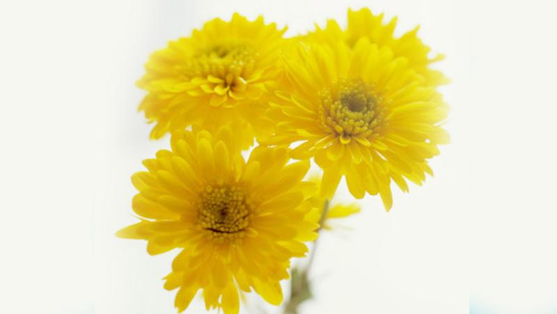 Hoa cúc vàng ức chế sự phát triển của vi khuẩn