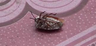 Bọ xít: Cách diệt trừ bọ xít ngày mưa và sơ cứu khi bị cắn