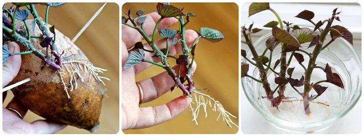 Tách mầm cây khoai lang