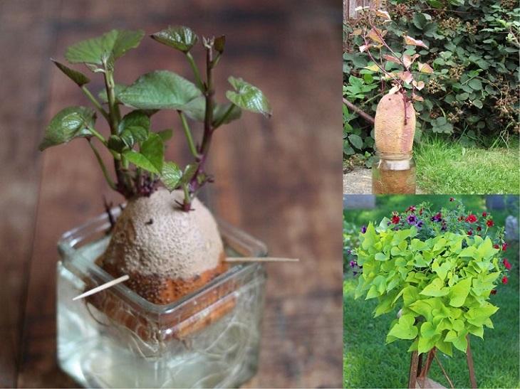 trồng cây khoai lang để bàn xinh xắn