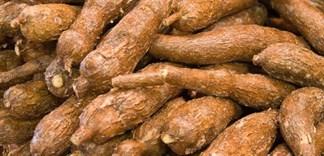 Giá trị dinh dưỡng của khoai mì bạn nên biết