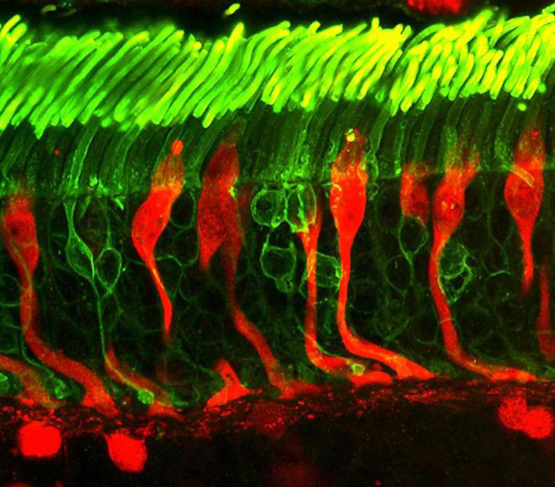 Vì sao ánh sáng xanh từ điện thoại di động lại làm hỏng tế bào mắt? 1