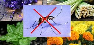 Trồng gì trong vườn để xua muỗi tự nhiên?
