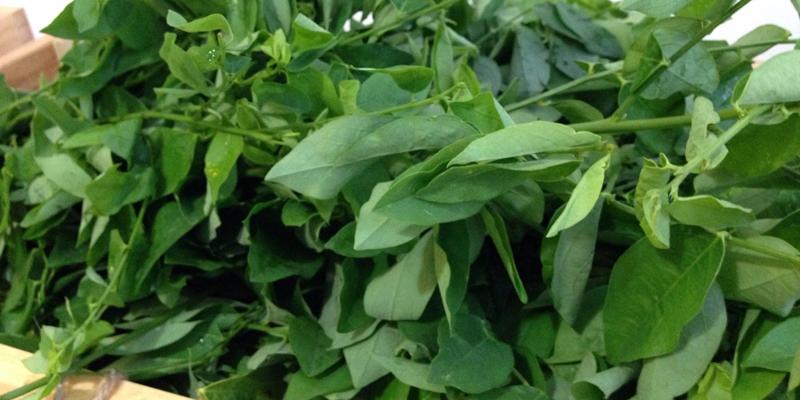 Mẹ bầu nên nấu chín rau ngót trước khi dùng và không chế biến cùng thực phẩm giàu Canxi