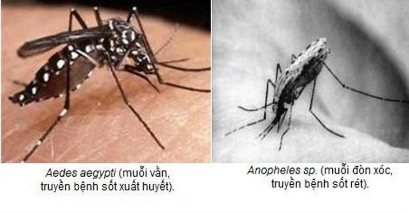 Phân biệt muỗi vằn và muỗi Anopheles