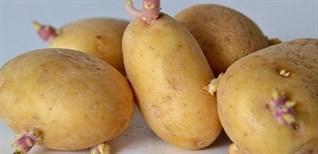 Khoai tây mọc mầm có ăn được không? Cách phòng tránh ngộ độc và bảo quản khoai tây