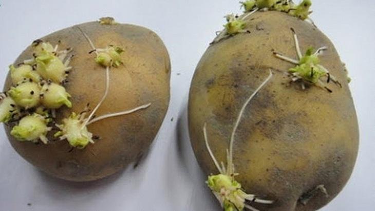 Ngộ độc khi ăn khoai tây mọc mần