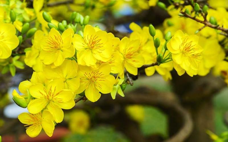 Giới thiệu cây hoa mai