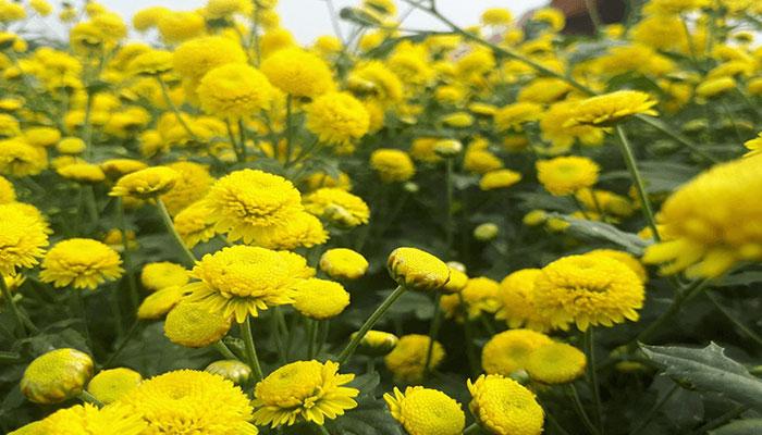 Chọn hoa Tết thế nào để mang may mắn cho cả gia đình