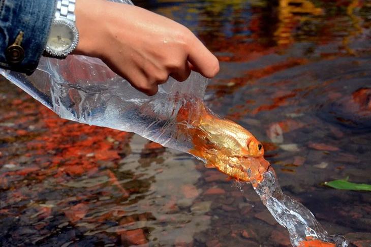 Thả cá chép