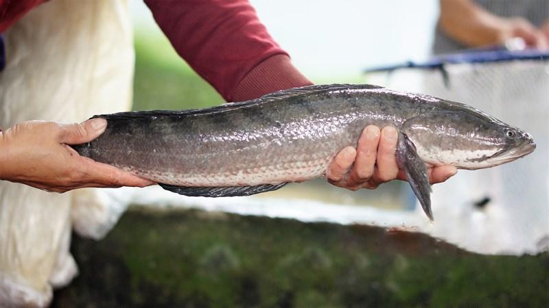 Cá lóc ngon