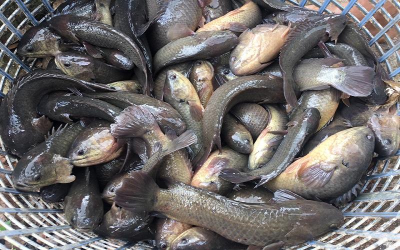 Lưu ý để có món bún cá rô ngon