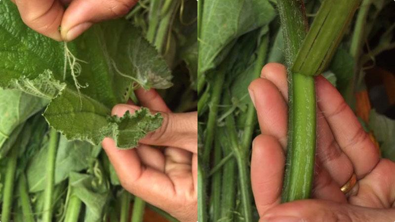 Đọt bí sau khi mua về thì tách riêng lá và phần cọng ra, tước phần cọng trước, rồi mới tước đến phần lá.