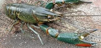 Xuất hiện loài tôm ngoại lai gây hại không kém tôm hùm đất
