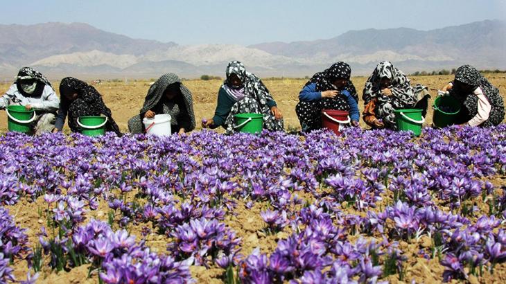 Thu hoạch Saffron rất khó khăn và tốn nhiều công sức