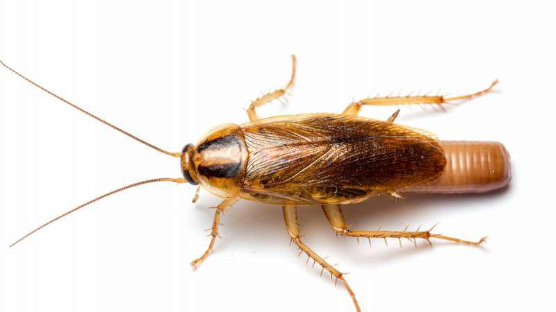 Gián Đức côn trùng gây bệnh và cách phòng chống
