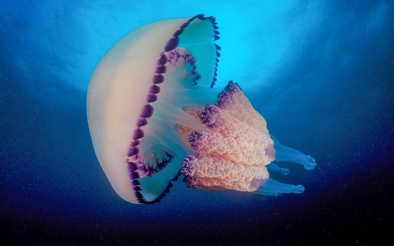 Cảnh báo mùa sứa biển và cách xử lí khi bị sứa cắn