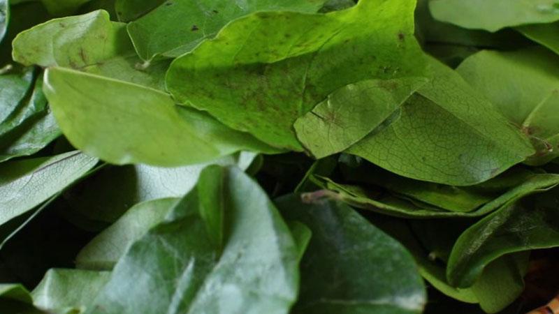 Lá sâm sau khi mua về thì loại bỏ các lá hư, rồi rửa sạch từng lá dưới vòi nước, sau đó dùng dao cắt nhỏ lá sâm ra.