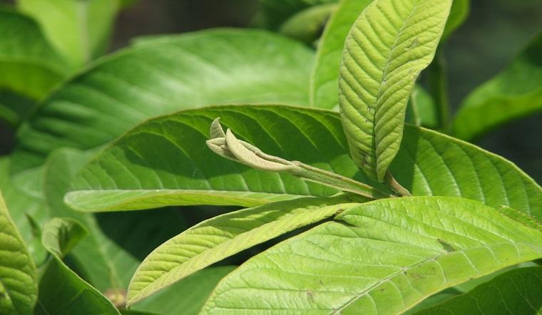 Tóc rụng lâu năm cũng sẽ mọc lại như rừng với 1 nắm lá ổi