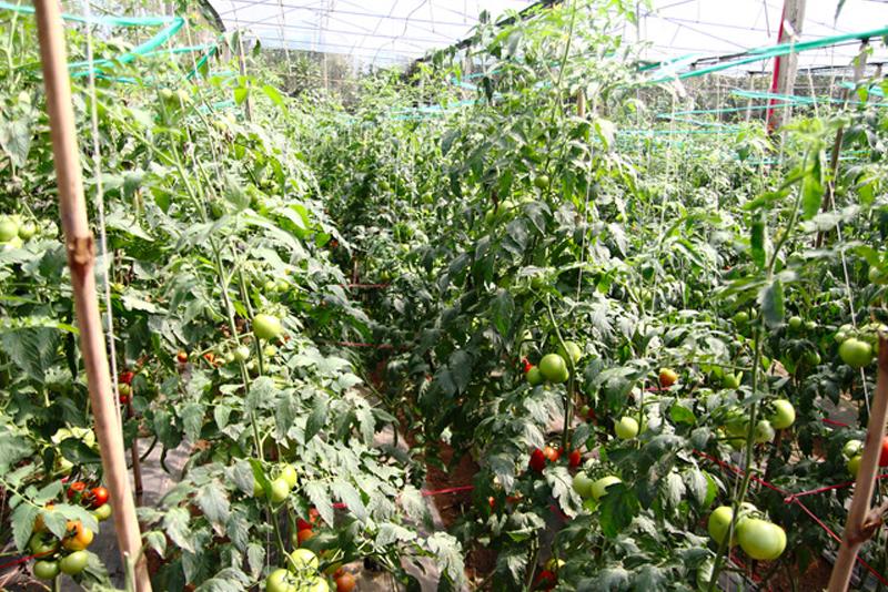 Rau nào trồng phải dùng nhiều thuốc trừ sâu, thuốc tăng trưởng nhất?