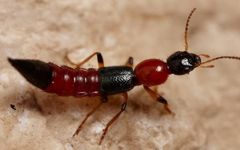 Kiến ba khoang là kiến gì?
