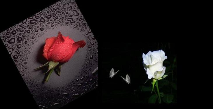 Ý nghĩa bông hồng cài áo
