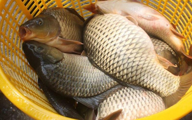 Giá trị dinh dưỡng của cá chép