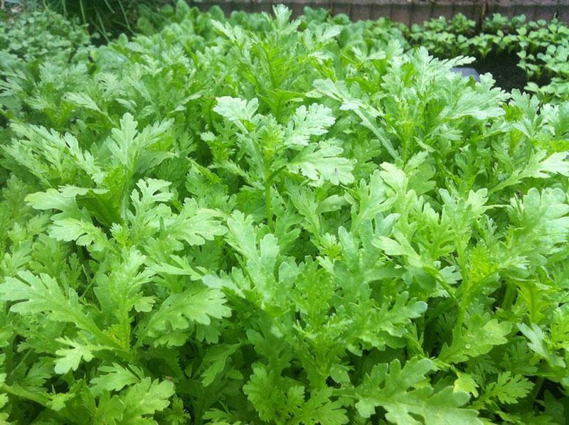 Cách tạo vườn rau xanh sạch & Những loại rau củ dễ trồng ngay tại nhà - Rau cải cúc