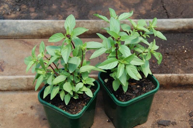 Cách tạo vườn rau xanh sạch & Những loại rau củ dễ trồng ngay tại nhà - Cây gia vị