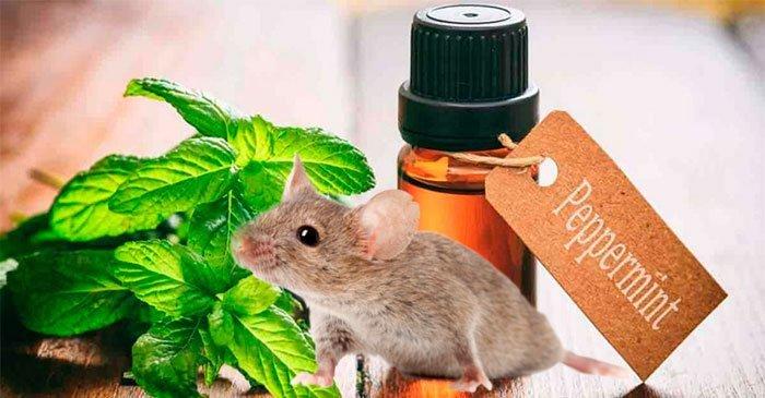 Cách sử dụng tinh dầu bạc hà để đuổi chuột