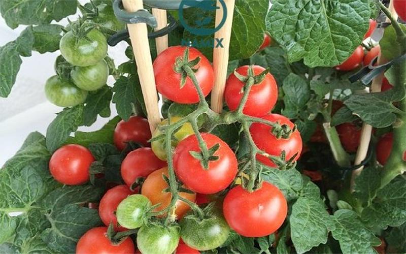 Cách trồng và chăm sóc cà chua cho trĩu quả và thu hoạch quanh năm