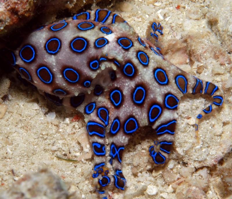 Bạch tuộc đốm xanh, sinh vật biển có nọc độc nhất thế giới