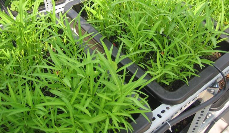 Cách trồng rau muống trong thùng xốp sạch và an toàn