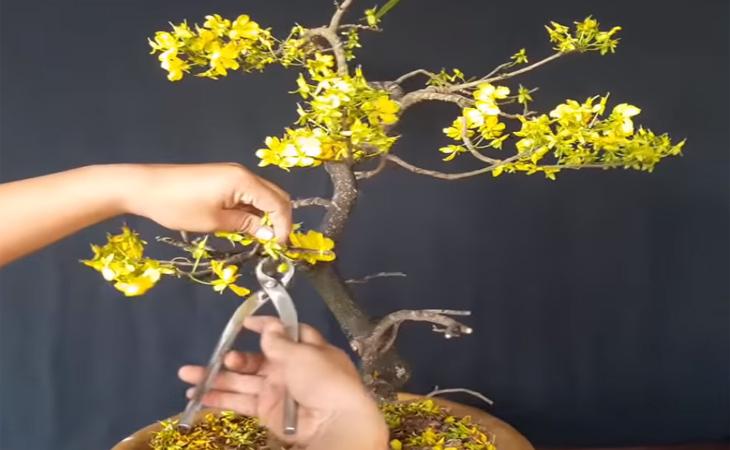 Dùng kéo bấm cắt bỏ, tránh hoa tạo hạt