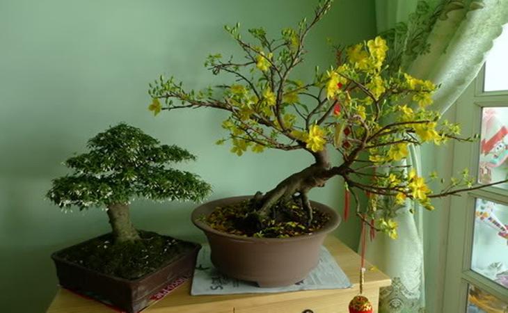 Mai trồng trong chậu trong nhà